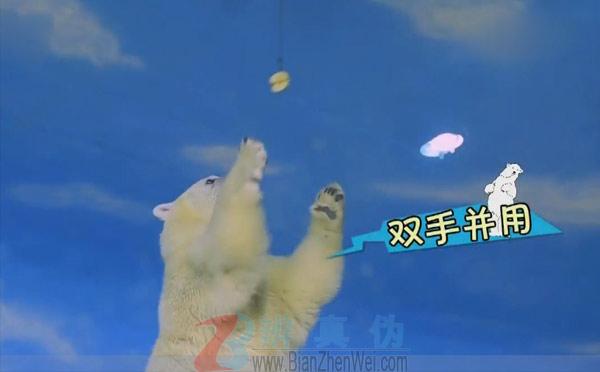 北极熊全是左撇子测试是双手并用