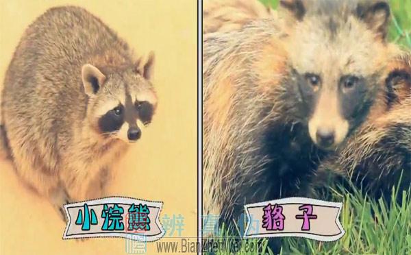 """不同种类的动物也有""""双胞胎"""",光看脸貉和小浣熊简直就像亲兄弟"""