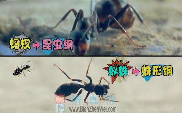 """不同种类的动物也有""""双胞胎"""",它是蚁蛛属的种类,是在蛛形纲,蜘蛛目,跳蛛科。而蚂蚁是属于,蚁科,膜翅目,昆虫纲的一个类群。"""
