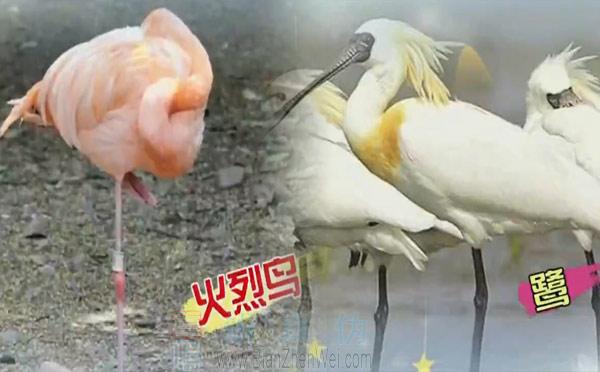 丹顶鹤用一条腿站着睡觉是真的,许多腿长的鸟也会在休息时一只脚站立,例如火烈鸟和鹭