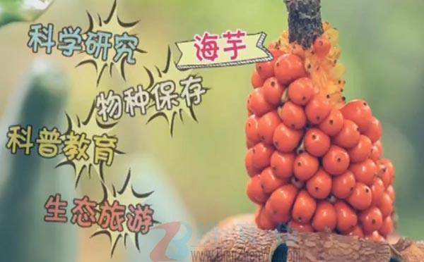 有一种水果食用后会使酸味变甜是真的。中国科学院西双版纳热带植物园是一家集科学研究、物种保存、科普教育以及生态旅游为一体的综合性研究机构——辨真伪网