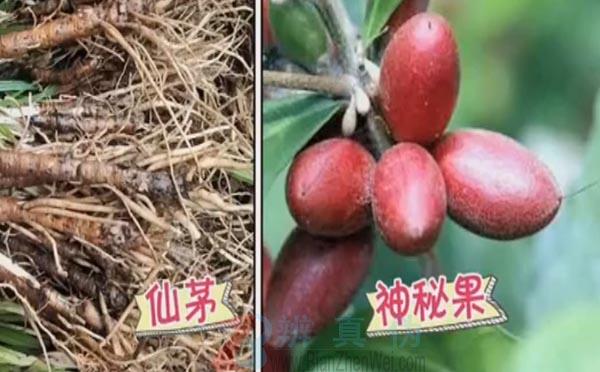 有一种水果食用后会使酸味变甜是真的。一种是菲律宾的仙茅,那么另外一种就是神秘果——辨真伪网
