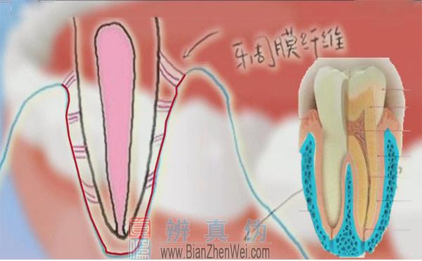 经常叩齿有利于增强牙齿牢固度,牙齿里面是有神经和血管的,它会通过一个很细的根尖孔从牙槽骨进到牙齿里边