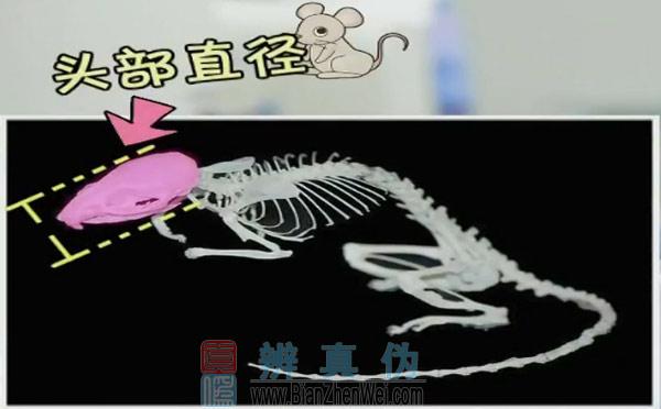 老鼠能钻过直径1厘米的洞,老鼠头骨的直径是身体最宽的部分