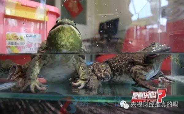 牛蛙声音像牛是真的——牛蛙带到一个安静点的地方慢慢观察——辨真伪网