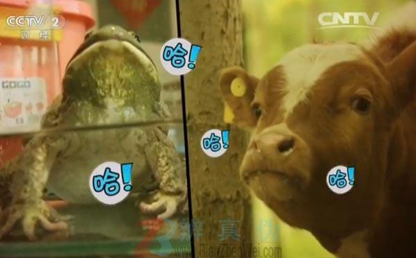牛蛙声音像牛是真的——其中一只牛蛙竟然叫了——辨真伪网
