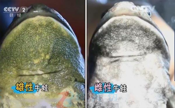 牛蛙声音像牛是真的——雄性牛蛙咽喉部的皮肤是黄绿色的,而雌性牛蛙则是灰白色的——辨真伪网