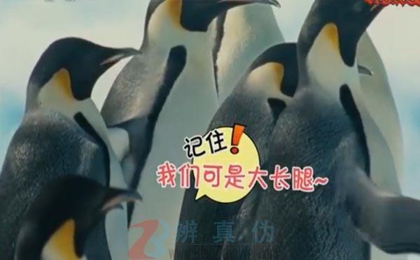 企鹅其实是大长腿是真的。的确确有一双内秀的大长腿——辨真伪网