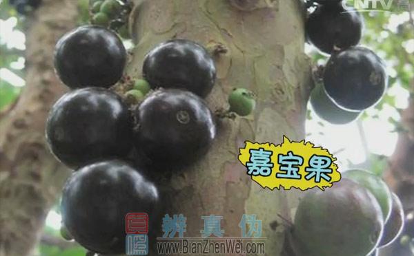 山竹是长在树干上的,嘉宝果,它属于温带和亚热带都可以种植的作物