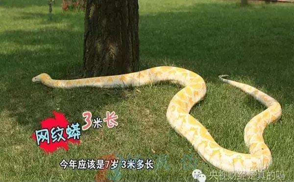 蛇咬到猎物就不会松口,网纹蟒——辨真伪网