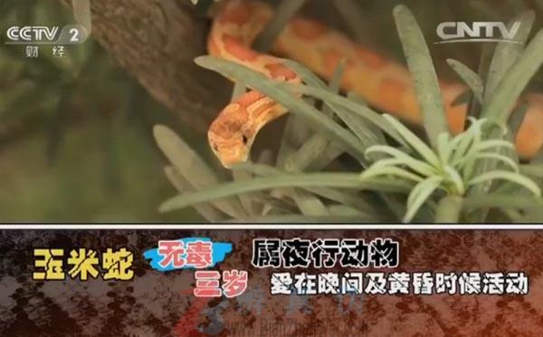 蛇咬到猎物就不会松口,玉米蛇放进一个透明的玻璃缸内——辨真伪网