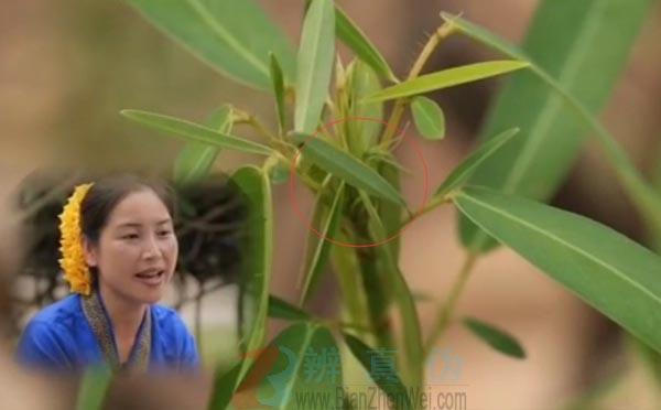 有一种草听到音乐会跳舞是真的。伴随着傣家妹子的歌声,植物的叶片又开始舞动起来——辨真伪网