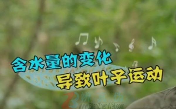 有一种草听到音乐会跳舞是真的。海绵体随着含水量的多少引起的小叶子的变化——辨真伪网