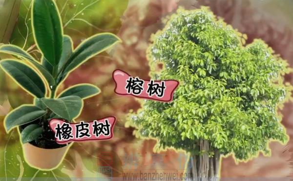 家中的橡皮树以及我国南方路边常见的榕树均为隐头花序的开花方式