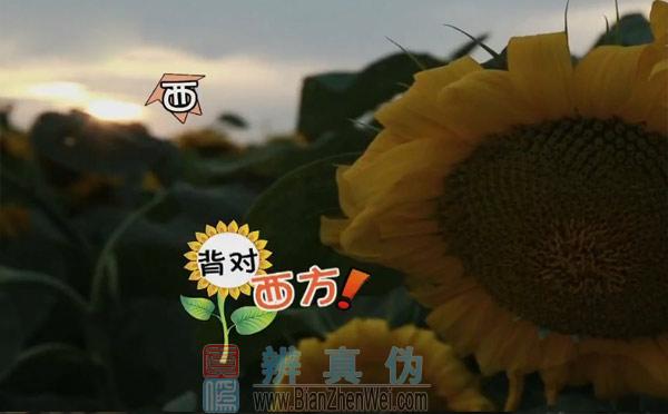 向日葵会一直跟随太阳转动,等到太阳落山,全部背对着太阳。
