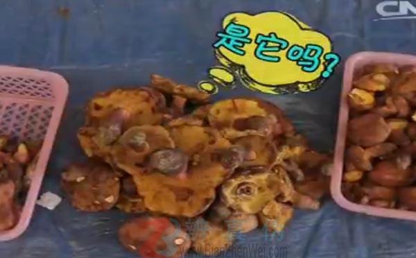颜色鲜艳的蘑菇都有毒蘑菇是网络谣言。看到了一种紫红色的蘑菇,在我们看来这已经是比较鲜艳的蘑菇了——辨真伪网