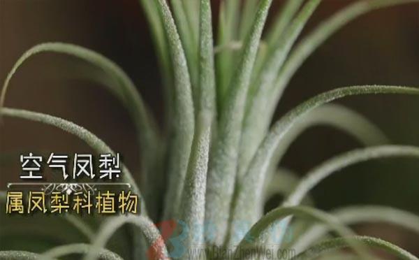 有一种植物靠空气就能生长。空气凤梨属于凤梨科植物,有上百个品种——辨真伪网