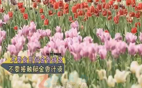 郁金香会释放有毒气体是网络谣言。不去食用它的球茎、不接触到它的汁液,郁金香就不会伤害到我们——辨真伪网