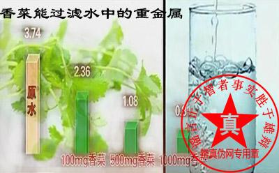 香菜能够过滤水中的汞这种重金属污染——辨真伪网