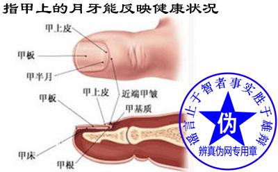 """指甲上的""""月牙""""能反映健康状况这种就去是假的。指甲的颜色、光泽才是衡量健康状况的一个重要指标——辨真伪网"""