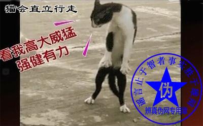 猫会直立行走是假的。四足着地的动物可能存在能走几步,甚至能小跑几步的状态,但是这不是它的主要行为方式——辨真伪网