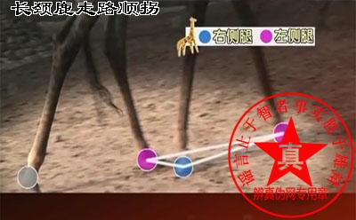 长颈鹿走路顺拐——辨真伪网