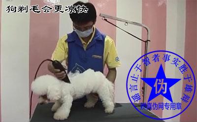 狗剃毛会更凉快的说法是假的——辨真伪网