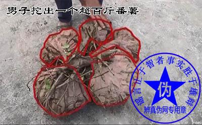 男子挖出一个超百斤番薯是假的。是接连在同一个根上的五个番薯——辨真伪网