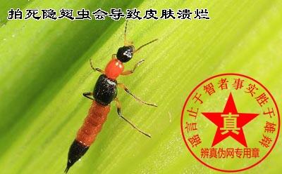 拍死隐翅虫会导致皮肤溃烂是真的。如果遇到可以吹一口气或者拍一下旁边的皮肤,把它弹开就不会受伤——辨真伪网