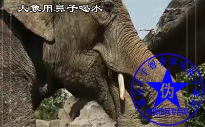 大象用鼻子喝水是网络谣言——辨真伪网