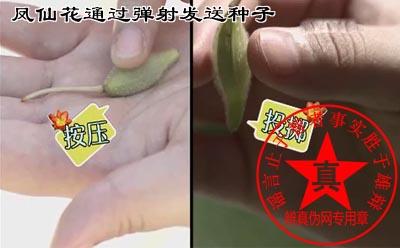 凤仙花通过弹射发送种子是真的——辨真伪网