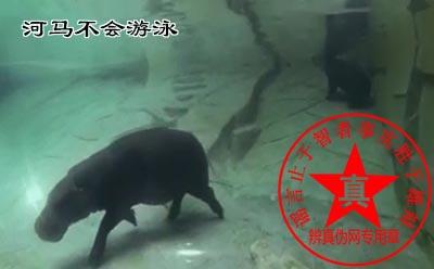河马不会游泳是真的。河马是在水下行走的——辨真伪网
