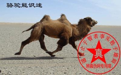 骆驼能识途是真的——辨真伪网