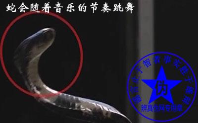 蛇会随着音乐的节奏跳舞是假的。耍蛇人虽然在吹笛子,但是腿也在眼镜蛇面前不停来回地晃动引起眼镜蛇的注意——辨真伪网