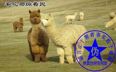 羊驼都蹦着跑是网络谣言。只有在羊驼遇到特殊的情况时才会如此——辨真伪网