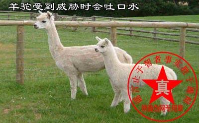 羊驼受到威胁时会吐口水是真的。观赏羊驼时对其友善并爱护它们——辨真伪网