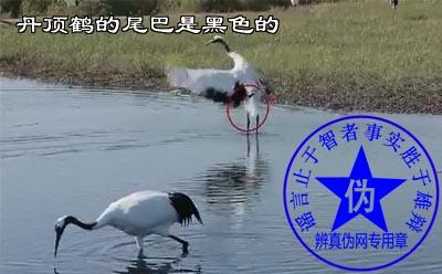 丹顶鹤的尾巴是黑色的网络谣言——辨真伪网
