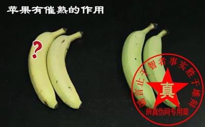 苹果有催熟的作用是真的。如果想让水果尽快成熟口感增甜,主可以把它们放在一起。反之如果想让水果存放更久,就要把买来的水果分开存储,由其不要和苹果放在一起——辨真伪网