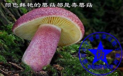 颜色鲜艳的蘑菇都有毒蘑菇是网络谣言。——辨真伪网