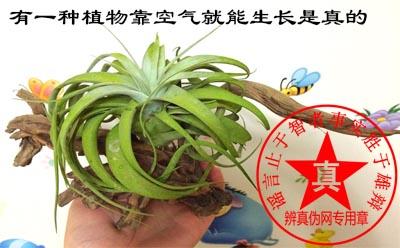 有一种植物靠空气就能生长——辨真伪网
