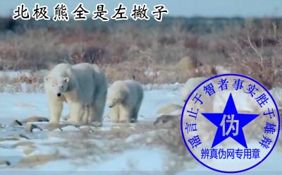 北极熊全是左撇子是网络谣言——辨真伪网