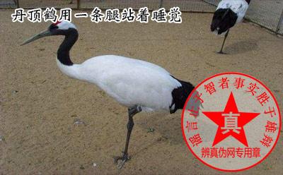 丹顶鹤用一条腿站着睡觉是真的——辨真伪网