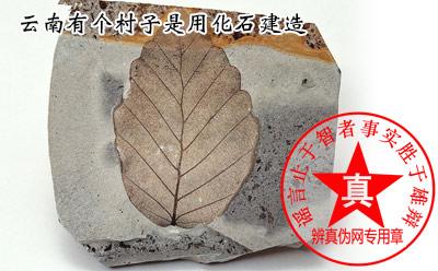 云南有个村子是用化石建造的真的——辨真伪网